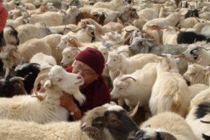 Venerable Geshe Phelgye saves goats