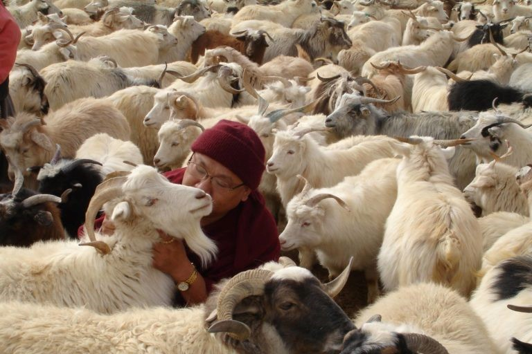 Venerable Geshe Phelgye saves goats from slaughter