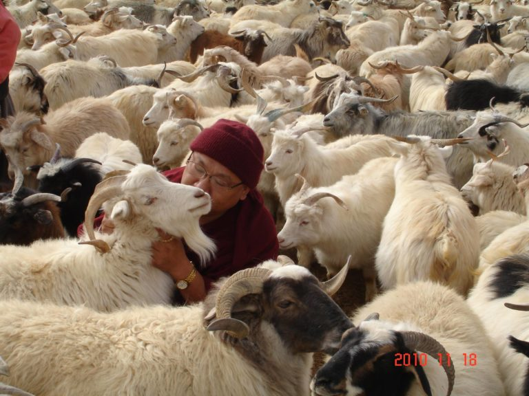 Geshe Phelge rescues goats from slaughter hourse
