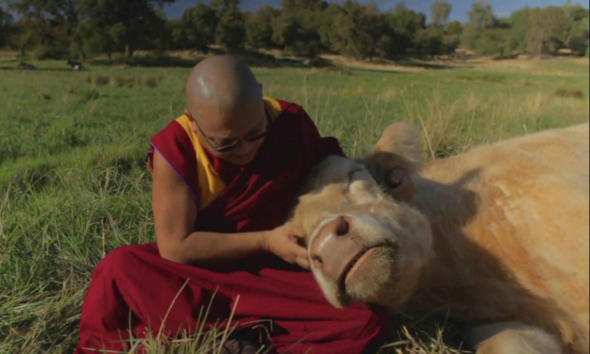 Geshe Phelgye Tibetan Buddhist monk with cow